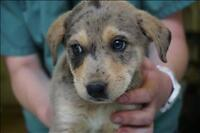 "Baby Female Dog - Australian Cattle Dog (Blue Heeler): ""Tuesday"""