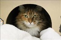 """Senior Female Cat - Domestic Long Hair: """"Minxy"""""""