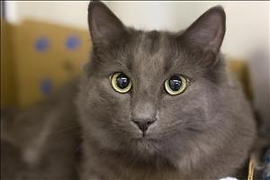 """Young Male Cat - Domestic Short Hair: """"Max"""""""