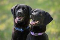"""Adult Male Dog - Labrador Retriever: """"Charlie"""""""