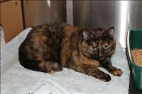 "Adult Female Cat - Domestic Short Hair: ""Mandalin"""