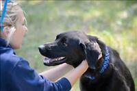 """Adult Male Dog - Redbone Coonhound-Labrador Retriever: """"Dozer"""""""
