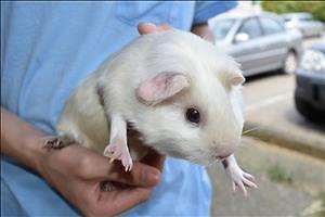 """Young Female Small & Furry - Guinea Pig: """"Snowflake"""""""