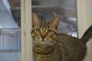 "Adult Male Cat - Domestic Short Hair: ""Spot"""