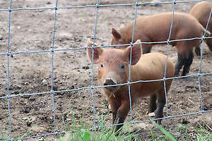 Purebred Tamworth piglets