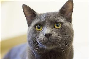 """Young Male Cat - Domestic Short Hair: """"Duncan"""""""
