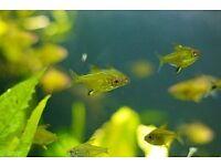 6x Lemon Tetra for sale live tropical fish