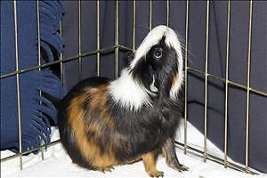 "Adult Male Small & Furry - Guinea Pig: ""Frodo"""