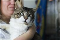 "Adult Male Cat - Domestic Long Hair: ""Lincoln (tru)"""