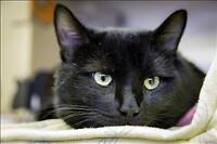 """Young Male Cat - Domestic Short Hair: """"Six"""""""