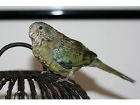 female red rump parakeet for sale