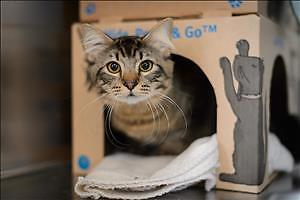 """Young Male Cat - Domestic Medium Hair: """"Spock"""""""