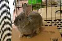 """Young Male Rabbit - Lionhead-Flemish Giant: """"Sully"""""""