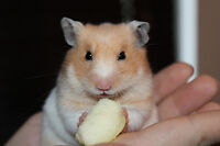 FREE TO GOOD HOME...... FEMALE HAMPSTER.....