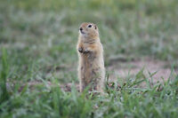 Are Gophers a problem in your farm pastures?