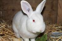 "Adult Male Rabbit - New Zealand: ""Henry"""