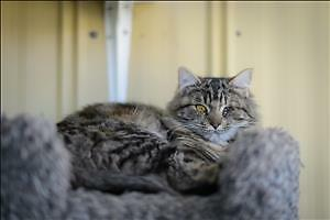 """Young Female Cat - Domestic Long Hair: """"Ivory"""""""