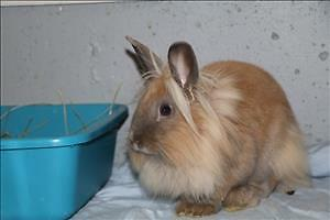 "Young Male Rabbit - Lionhead-Dwarf: ""Hopscotch"""
