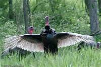 Wild Turkey Seminar - Barrie