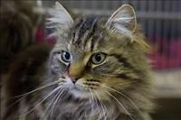 "Adult Female Cat - Domestic Long Hair: ""Sophie"""