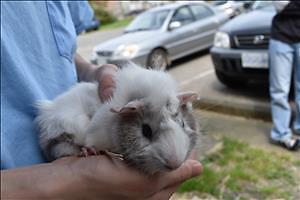 "Baby Male Small & Furry - Guinea Pig: ""Oreo"""