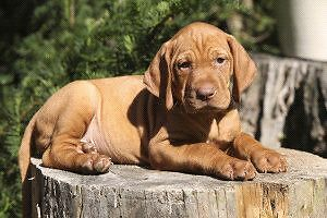 Looking for a vizsla puppy
