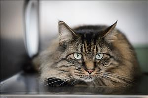 """Adult Male Cat - Domestic Long Hair-Maine Coon: """"Ruffy"""""""