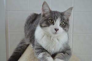 "Young Male Cat - Domestic Short Hair - gray and white: ""Sky"""
