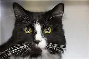 "Adult Female Cat - Domestic Medium Hair: ""Kiki"""