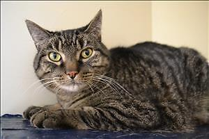 "Adult Male Cat - Domestic Short Hair: ""Louie"""