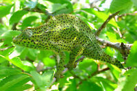 Chameleo Deremensis proven pr. price reduced.