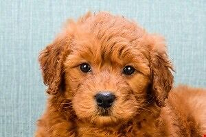 ISO a golden doodle puppy