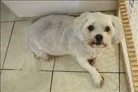"Senior Female Dog - Shih Tzu-Bichon Frise: ""Navah"""