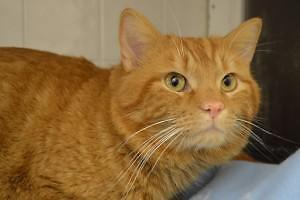 "Adult Male Cat - Domestic Short Hair: ""Cornflake"""
