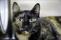 "Adult Female Cat - Domestic Short Hair: ""Harmony"""