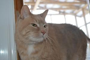 "Senior Male Cat - Domestic Short Hair: ""Clifford"""