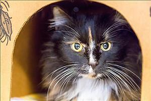 "Senior Female Cat - Domestic Long Hair: ""Noel"""