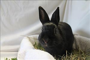 """Young Male Rabbit - Dutch: """"Ronnie"""""""