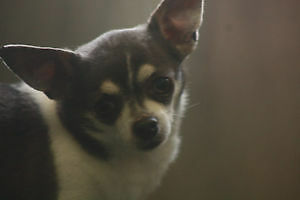 LITTLE HARLEY THE CHIHUAHUA IS UP FOR ADOPTION