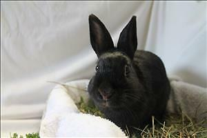 "Young Male Rabbit - Dutch: ""Ronnie"""