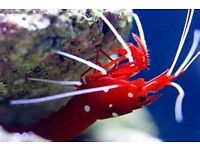 MARINE FISH / LARGE FIRE SHRIMP