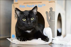 "Adult Male Cat - Domestic Short Hair: ""Hugo"""