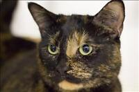 "Adult Female Cat - Domestic Short Hair: ""Bodom"""