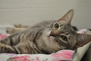 "Young Male Cat - Domestic Short Hair: ""Dyson"""