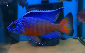 Awesome Prices on Peacocks and other Fish!