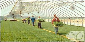 Tobacco Farm Labourers Needed