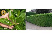 Laural hedging
