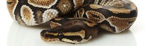 Rehoming Female Ball Python