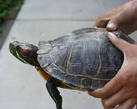 Meet Gloria Deloris ----Our Family Turtle---Red Eared Slider