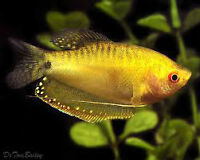 beautiful gold gourami for sale